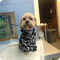 Adopt A Pet :: URGENT ON 1/20  San Bernardino - San Bernardino, CA
