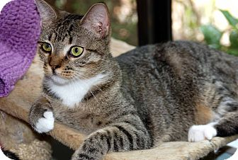 Domestic Shorthair Cat for adoption in New Port Richey, Florida - Gladys