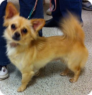 Chihuahua Mix Dog for adoption in Loudonville, New York - Grace