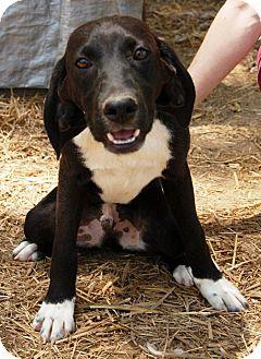 Beagle Mix Dog for adoption in Washington, D.C. - Goober