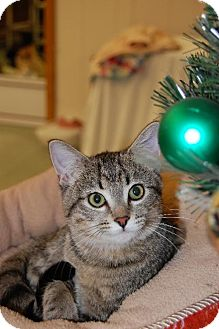 Domestic Shorthair Cat for adoption in Greenville, Illinois - Tatiana