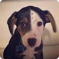 Adopt A Pet :: Patches - Minneapolis, MN