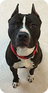 Pit Bull Terrier Mix Dog for adoption in Brookhaven, New York - Hemi