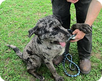 Olney, IL - Australian Shepherd/Mastiff Mix. Meet Marble a ...