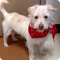 Adopt A Pet :: Piglet - Norwalk, CT
