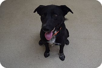 Labrador Retriever/Border Collie Mix Dog for adoption in Bucyrus, Ohio - Ambidextrous Winks