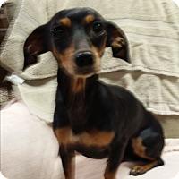Adopt A Pet :: Puddin - Allentown, PA