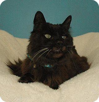 Domestic Mediumhair Cat for adoption in Cincinnati, Ohio - Lewis