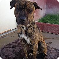 Adopt A Pet :: Tiger - Phoenix, AZ