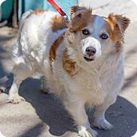 Adopt A Pet :: Roxy - Bronx, NY
