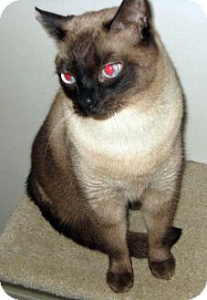 Siamese Cat for adoption in San Pedro, California - Simon