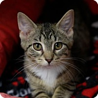Domestic Shorthair Kitten for adoption in Kettering, Ohio - Hydra