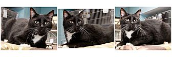 Domestic Shorthair Cat for adoption in Forked River, New Jersey - Zuba