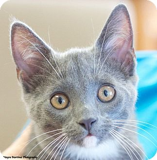 Domestic Shorthair Kitten for adoption in Chattanooga, Tennessee - Peter