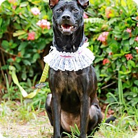 Labrador Retriever Mix Dog for adoption in Castro Valley, California - Ebby