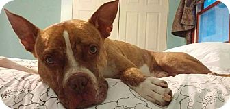 Bulldog Mix Dog for adoption in Brunswick, Ohio - Rex