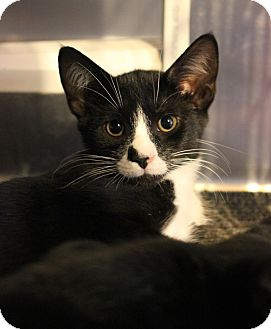 Domestic Shorthair Kitten for adoption in Carlisle, Pennsylvania - Franklin
