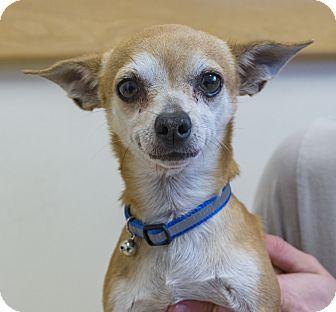 Chihuahua Mix Dog for adoption in Seattle, Washington - Tolman
