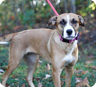 Labrador Retriever/Collie Mix Dog for adoption in Rochester, New Hampshire - Cassie