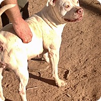 Staffordshire Bull Terrier Mix Dog for adoption in Chandler, Arizona - Maria