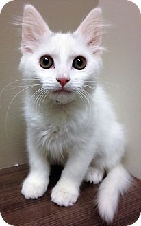 Domestic Shorthair Kitten for adoption in Shorewood, Illinois - Moved to Downers Grove Dorothy