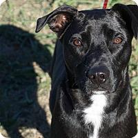 Adopt A Pet :: Huckleberry - Aubrey, TX
