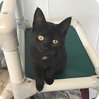 Domestic Shorthair Kitten for adoption in Greensburg, Pennsylvania - Poe