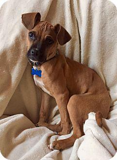 Boxer Mix Puppy for adoption in Alpharetta, Georgia - Camina