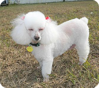Toy Poodle Dog for adoption in Umatilla, Florida - Cutie