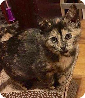 Domestic Shorthair Kitten for adoption in Greensburg, Pennsylvania - Apple