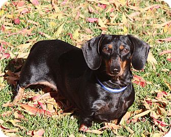Dachshund Dog for adoption in San Jose, California - Helen of Troy