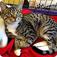 Adopt A Pet :: Rizzoli - Seminole, FL