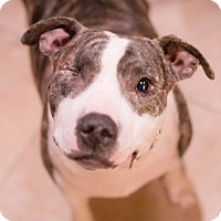 Adopt A Pet :: Shiner - San Antonio, TX