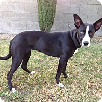Adopt A Pet :: RACHEL - San Pedro, CA