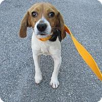 Adopt A Pet :: Angel Bea - Westminster, MD