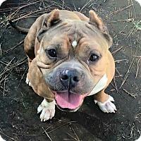 Adopt A Pet :: Tyson - Van Nuys, CA