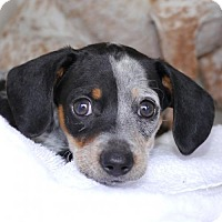 Adopt A Pet :: Lilac Blume - Houston, TX