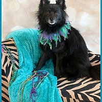 Schipperke Dog for adoption in Dallas, Texas - Cody Schipperke