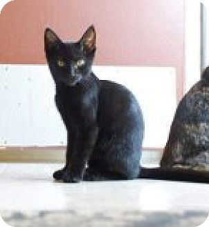 Domestic Shorthair Cat for adoption in Columbia, Tennessee - Monty