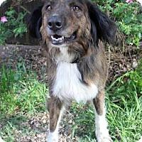Adopt A Pet :: Belinda - Westminster, CO