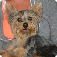 Adopt A Pet :: Little Britches - Westport, CT