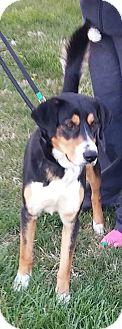 Border Collie/German Shepherd Dog Mix Dog for adoption in Mount Ayr, Iowa - Benson