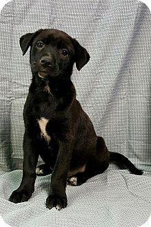 Pointer/Labrador Retriever Mix Puppy for adoption in Champaign, Illinois - Lacy