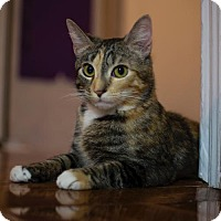 Domestic Shorthair Cat for adoption in Westerly, Rhode Island - Spirit Purr Machine