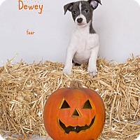 Adopt A Pet :: Dewey - Riverside, CA