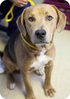 Weimaraner/Shepherd (Unknown Type) Mix Dog for adoption in Chester Springs, Pennsylvania - Country