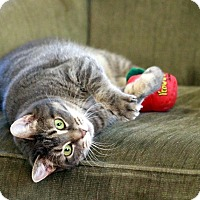 Domestic Shorthair Cat for adoption in Gaithersburg, Maryland - Tigre
