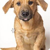 Adopt A Pet :: Caramel - Las Vegas, NV
