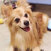 Pomeranian Dog for adoption in Studio City, California - Micro