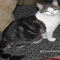 Domestic Mediumhair Cat for adoption in Hanford, California - *BECKAROO